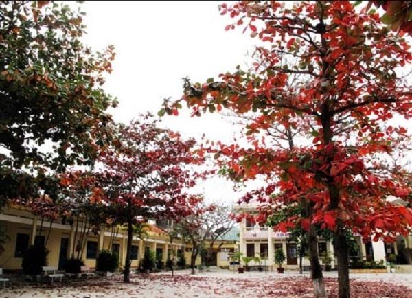 Cây bàng lá đỏ trên sân trường