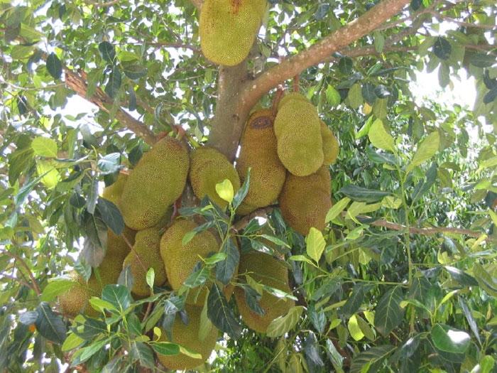 Top 10 bài văn tả cây ăn quả hay nhất