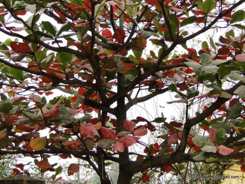 Bây giờ, cứ mỗi khi nhìn thấy lá bàng đỏ rực lên sau khi hoàn tất chức phận của mình, để mà rụng về gốc, trong buổi giao mùa, tôi lại nao nao nhớ cây bàng cổ thụ.