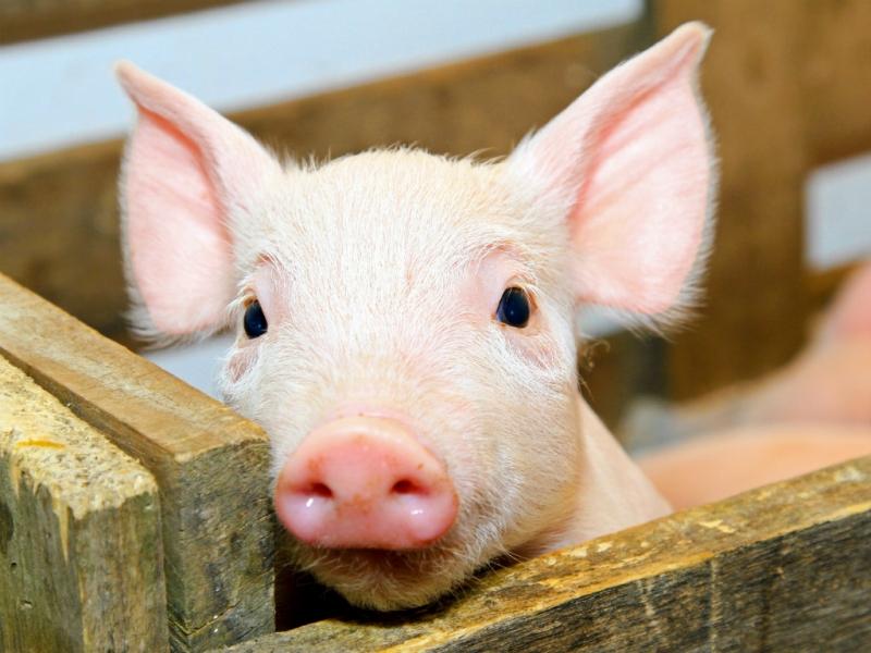Ngắm nhìn chú lợn đáng yêu trong chuồng là một sự thích thú của em.