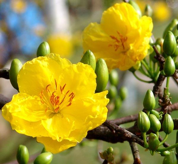 Top 7 dàn ý bài văn thuyết minh về cây mai ngày Tết chi tiết nhất