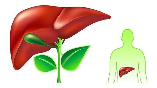 Hồng sâm có khả năng hạn chế tới 70% các bệnh về gan, giúp bảo vệ gan khoẻ mạnh
