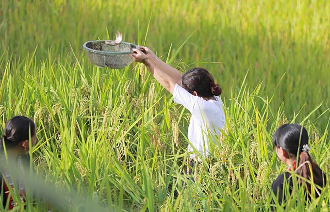 Nhiều khách du lịch thích thú trải nghiệm cảm giác bắt cá giữa cánh đồng lúa đang thì chín vàng ruộm