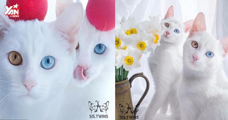 Cặp mèo sinh đôi  Iriss và Abyss