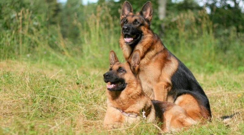 Becgie - một trong những loài chó cảnh thông minh nhất thế giới