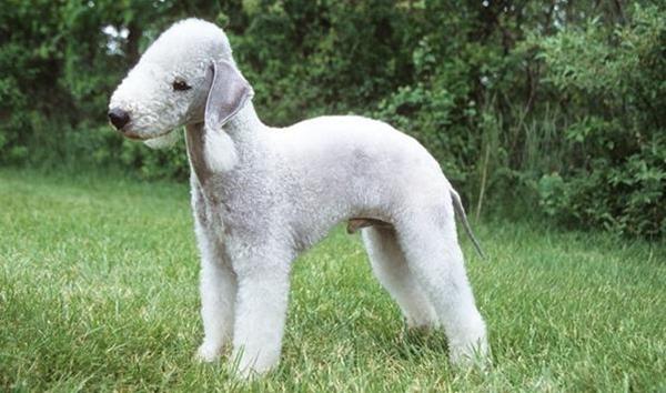 Chó sục Bedlington nổi bật với vẻ bề ngoài tựa như một chú cừu con hơn là một con chó