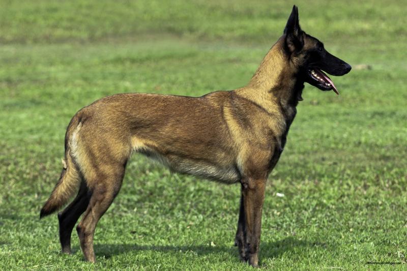 Belgian Malinois có cơ thể thon gọn, linh hoạt