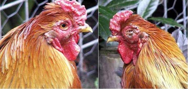 Biểu hiện của bệnh đậu gà