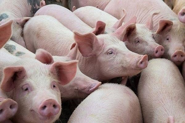 Lợn bị bệnh
