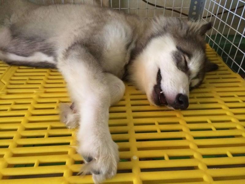 Vào giai đoạn chuyển mùa cún cưng rất dễ mắc phải bệnh ho cũi chó