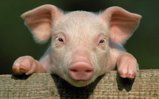 Bệnh lở mồm long móng ở lợn