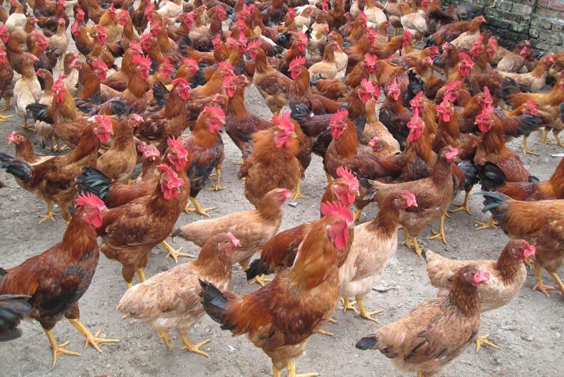 Việc nuôi tập trung và chất lượng dinh dưỡng không tốt là nguyên nhân làm gà bị ngộ độc