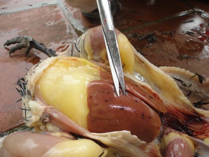Biểu hiện gà bị nhiễm trùng máu