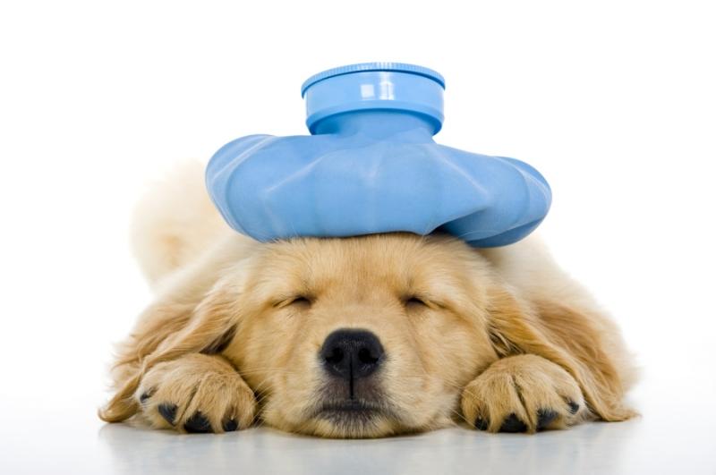 Chó con nhỏ hơn 4 tháng dễ mắc bệnh Parvo