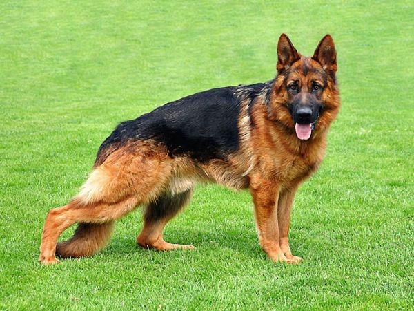 Giống chó Berger – German Shepard được biết đến với tên gọi khác là chó chăn cừu Đức