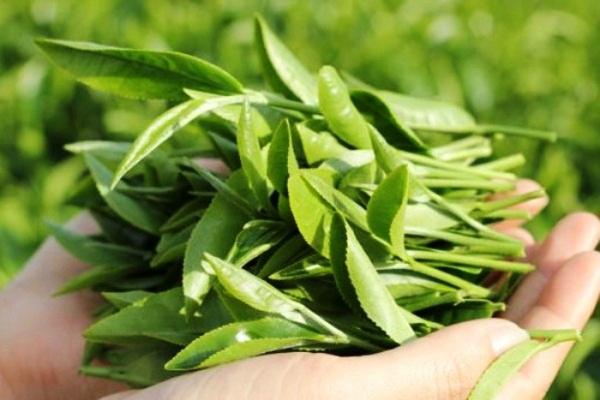 Giảm size bắp chân bằng trà xanh