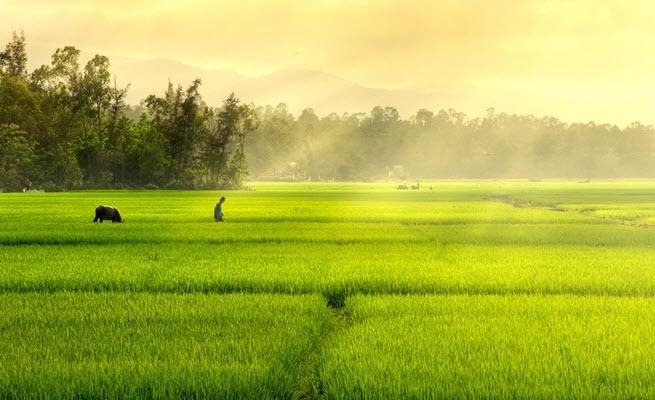 Nhìn từ xa, cánh đồng trông như một tấm thảm màu xanh pha vàng trải rộng mênh mông.