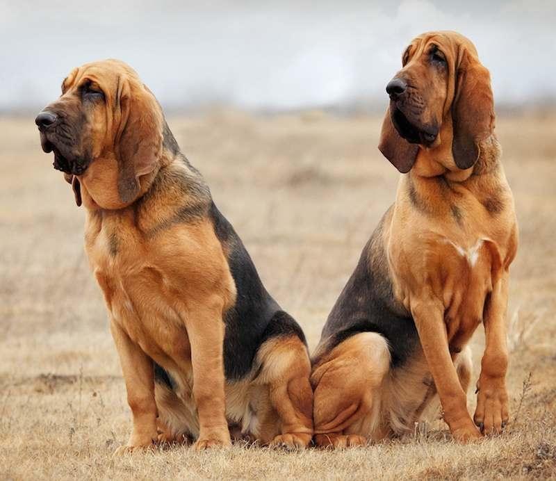 Chó Bloodhound có đôi tai to, dài đặc trưng