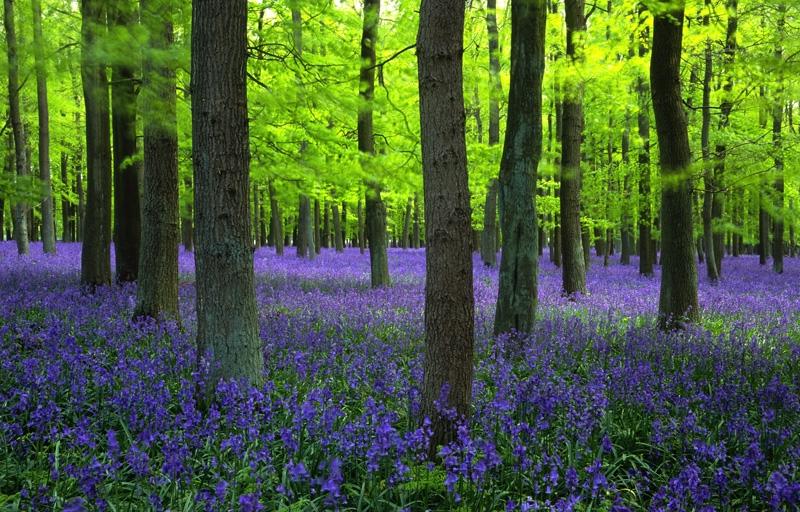 Khu rừng tràm ngập sắc tím của Blue Bells
