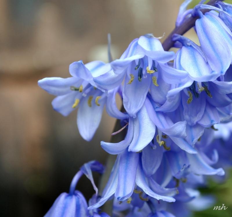 Blue Bells giống như những quả chuông tím treo trong thiên nhiên