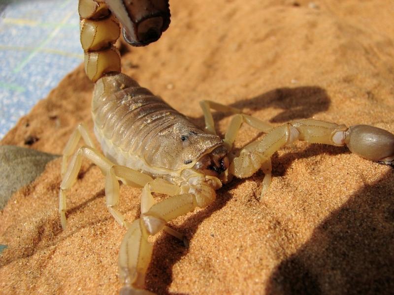 25% khẩu phần ăn của bọ cạp là thịt của những con bọ cạp khác.