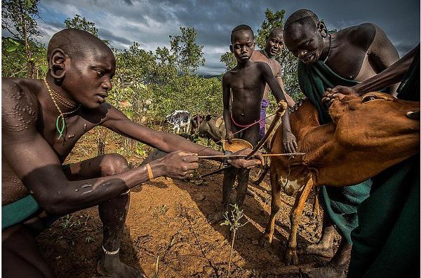 Bộ tộc uống máu động vật để giải khát