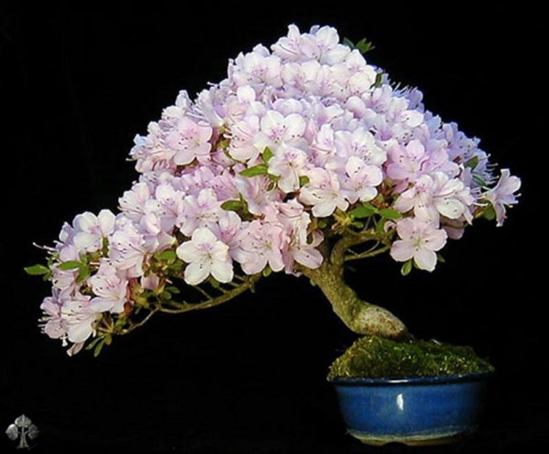 Bonsai hoa đỗ quyên