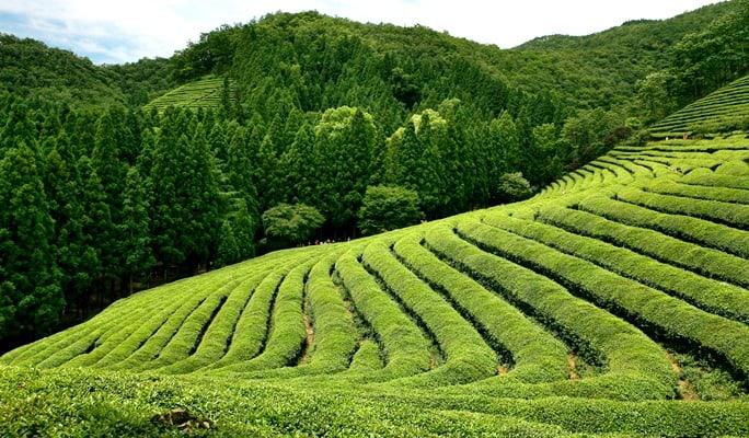 Những đồi chè trải dài xanh mướt bất tận đẹp mắt vô cùng.