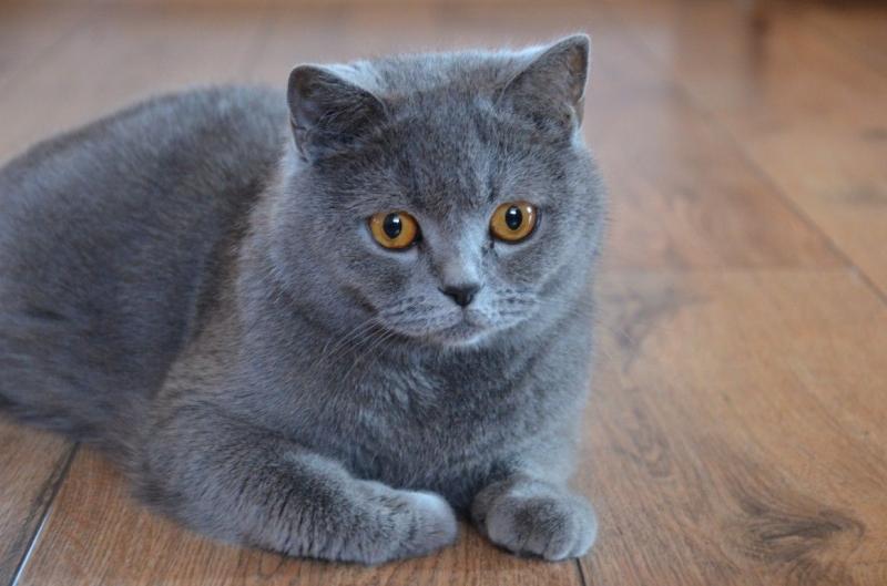 Xám ánh xanh là màu lông được ưa chuộng nhất của British Shorthair