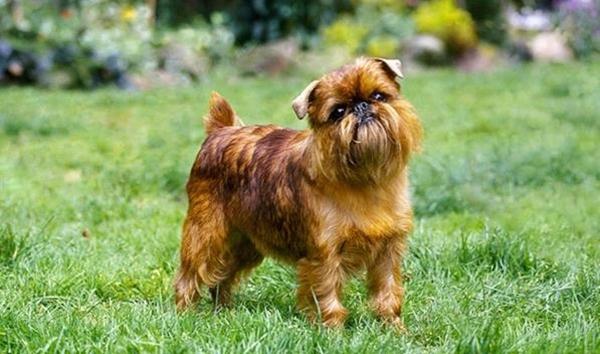 Loài chó Brussels Griffon là loài chó có nguồn gốc từ Bỉ