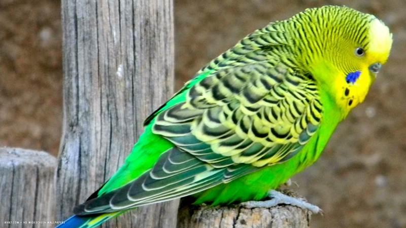 Đối với loài chim này, khả năng ghi nhận và học hỏi từ 300-500 từ và câu là bình thường