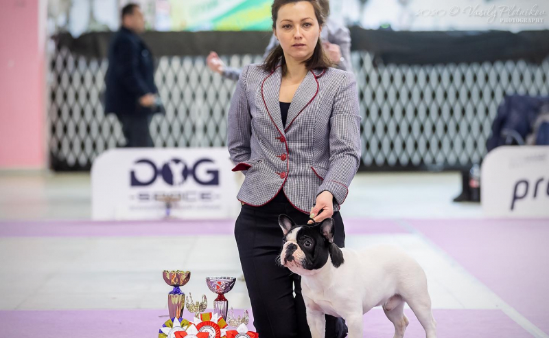 Bull Pháp Việt Nam - French Bulldog