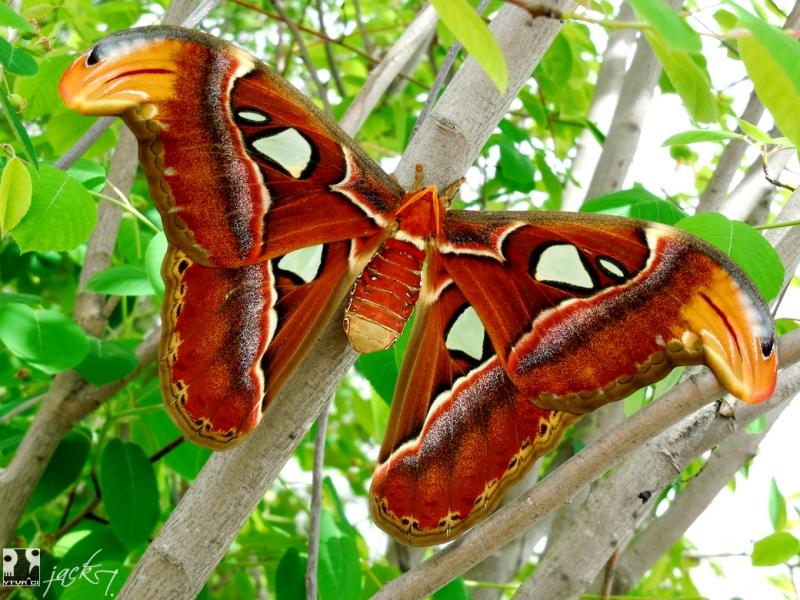 Bướm khế (bướm đêm Atlas)