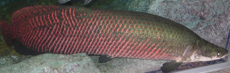 Cá ăn thịt Arapaima