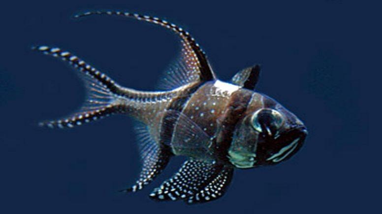 Cá Banggai