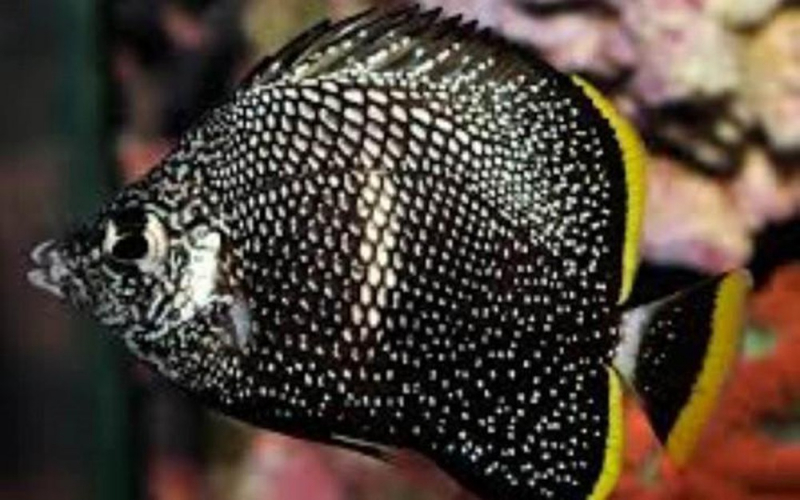 Cá bướm Wrought Iron (2.700 USD)