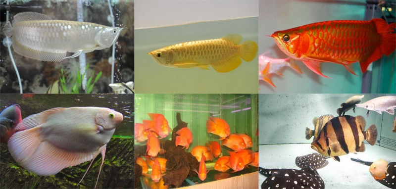 Cá cảnh Phúc Long có nhiều sản phẩm cá và bể cá cao cấp mới nhất hiện nay