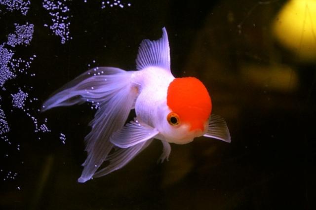 Cá Bạch Đỉnh Hồng