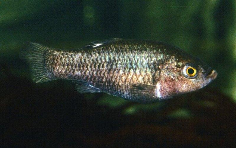 Cá cát Tecopa Cyprinodontidae