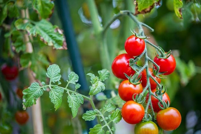 Cà chua bi có quả tròn hoặc dài, vị ngọt hơn so với cà chua thường.