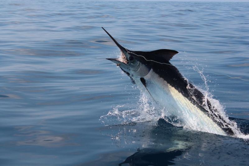 Cá cờ đen – Black marlin