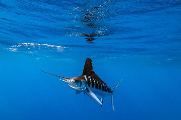 Cá cờ sọc – Striped Marlin