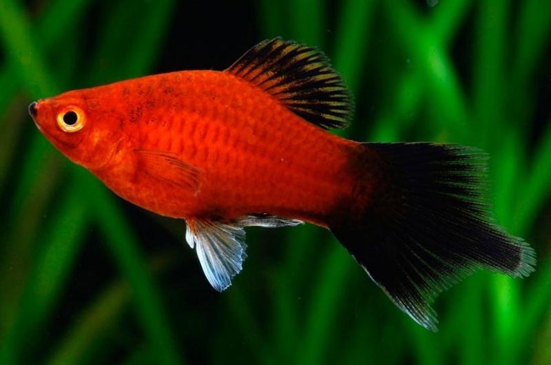 Cá mún màu đỏ - đen.