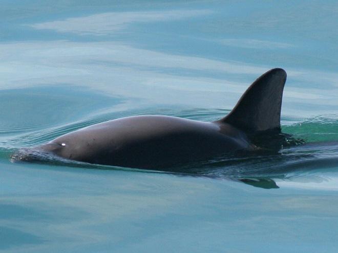 Cá heo California là một loài động vật siêu hiếm