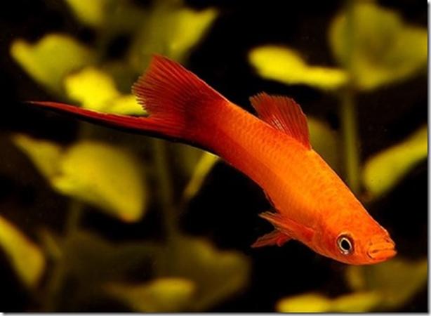 Cá thường có màu đỏ cam, tốc độ bơi khá nhanh.