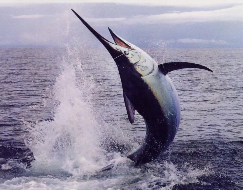 Cá kiếm – Sword Fish