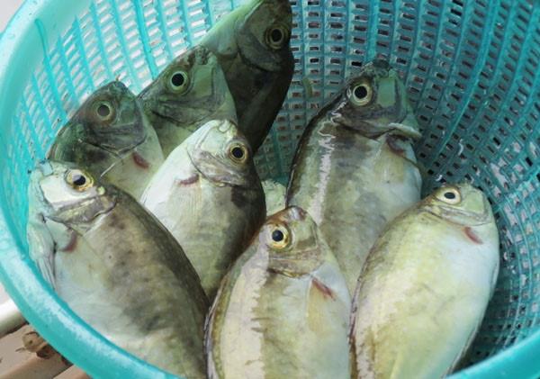 Cá kình là loại cá sống ở vùng nước lợ thường có nhiều tại Thừa thiên – Huế.