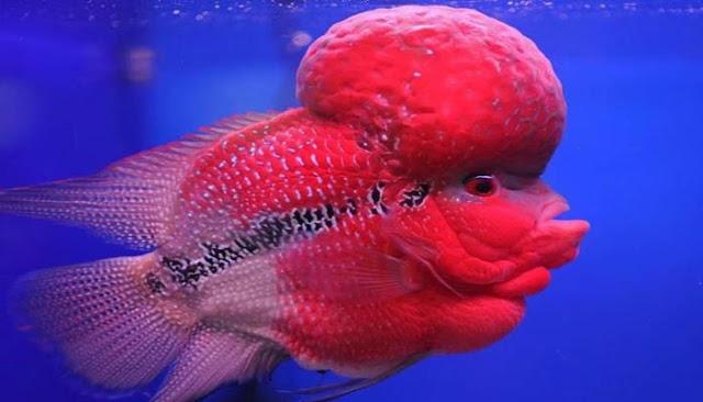Cá La Hán có tuổi thọ trên 10 năm