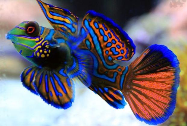 Cá Mandarin