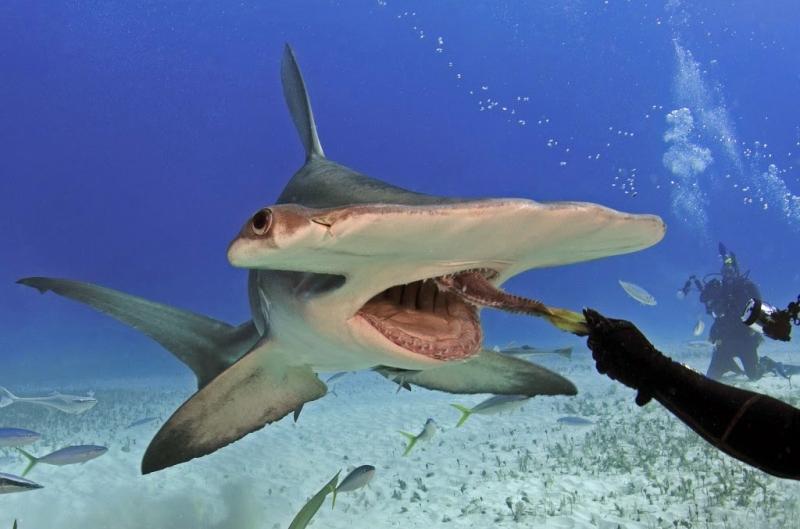 Cá mập đầu búa